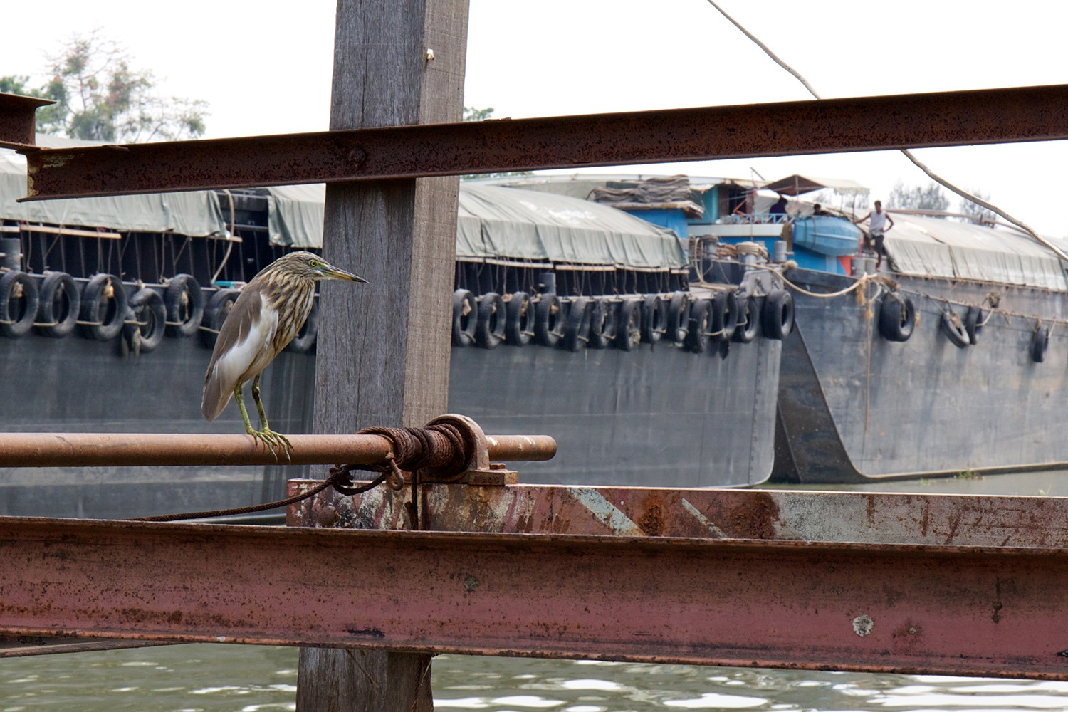 Chinese winter heron watching a barge pass by